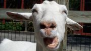 Funny-Goat-Closeup-Pouting-Face